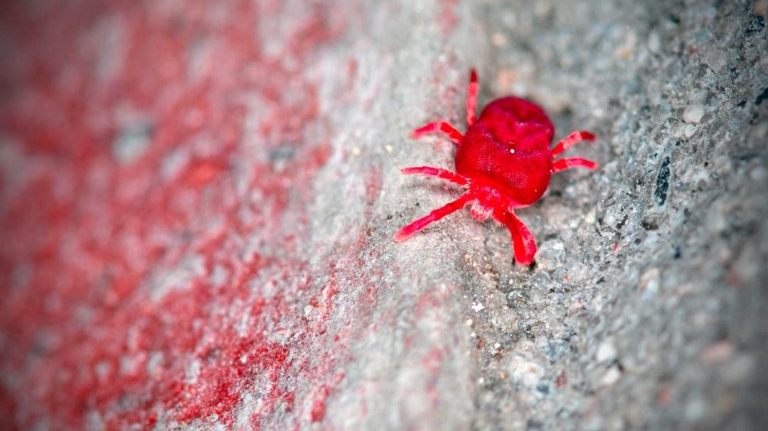 Εntomol: η λύση για την αντιμετώπιση της κόκκινης ψείρας (red mite)