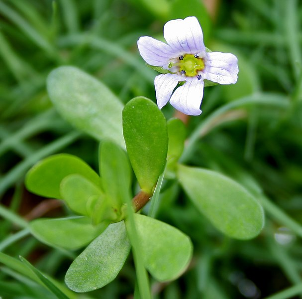File:Bacopa monnieri W IMG 1612.jpg - Wikipedia, the free encyclopedia