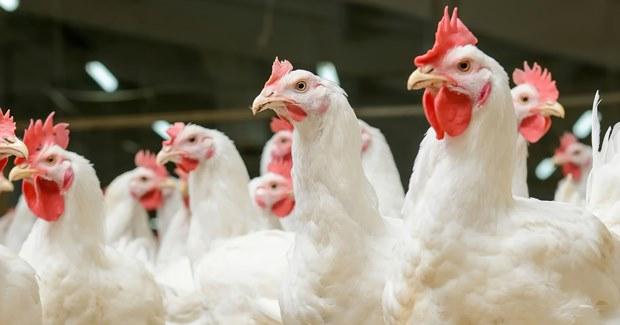 Λιπαρά οξέα βραχείας αλύσου: για την ενίσχυση της υγείας και της απόδοσης των κοτόπουλων