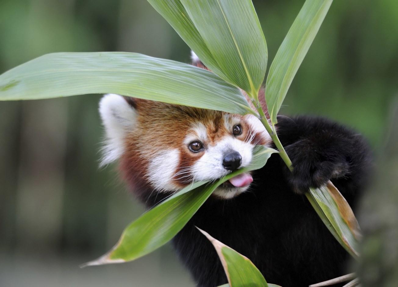red panda eating habits