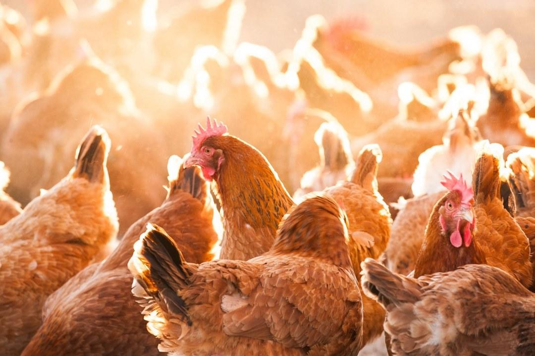 Φυσική βεταΐνη: ο φυσικός σύμμαχος για την αντιμετώπιση του θερμικού στρες στα κοτόπουλα
